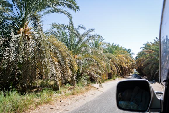 Date trees as we drive through a desert oasis