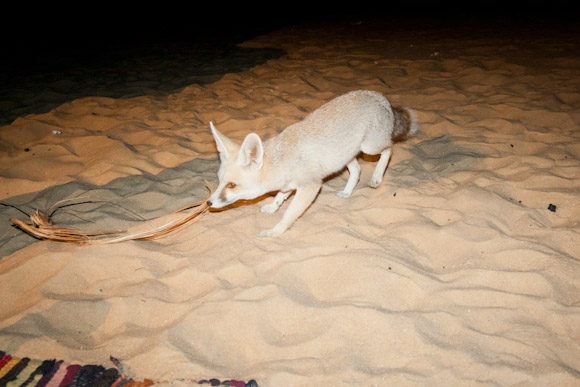 White Desert fox, at our camp site