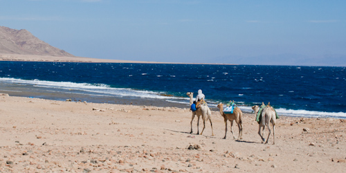 Camel ride along Red Sea